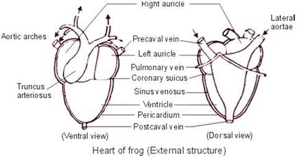 Tree Frog - The Physiological Processes of Blood